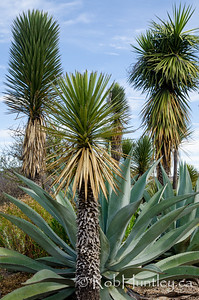 Agaves and yucca.