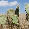 Prickly Pear Cacti in the grass.