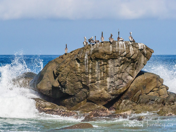 Pelicans on a rock.