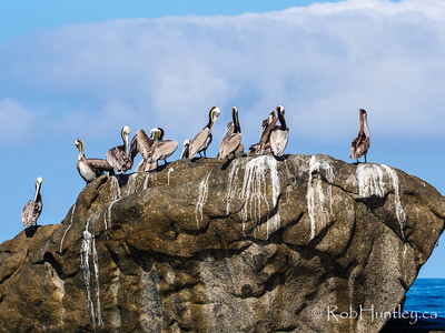 Pelicans on a rock. Find the crab.