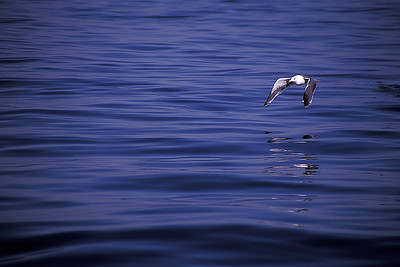 A black-backed gull wings its way over calm waters on the Sea of Cortez.    Near San Felipe, Mexico.  © Joseph Dougherty. All rights reserved.