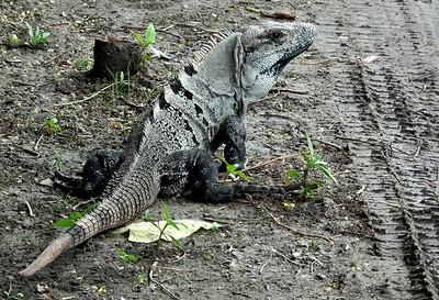 Iguana by Tulum