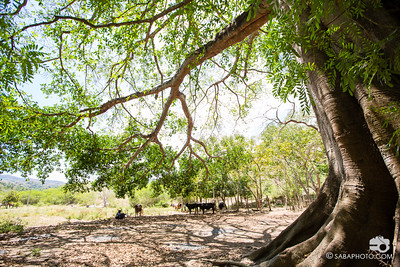 i loved these parota trees. they are masive and beautiful and the wood is prized for its resistance to termites