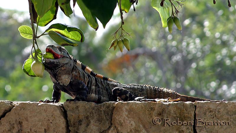 Iguana Eating Lunch