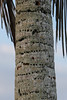Palm Tree with woodpecker holes.