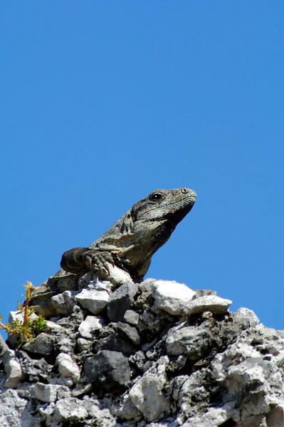 IguanaTulumMexico-03