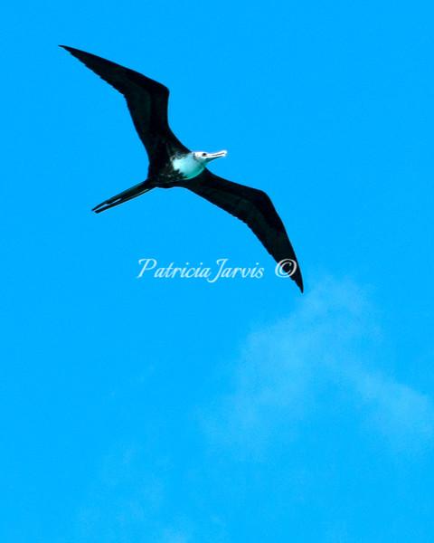 Frigate flying-02536