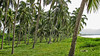 Palms near Boca de Iguana