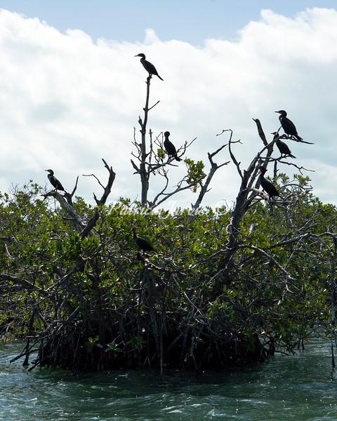 Cormorant tree-C02527