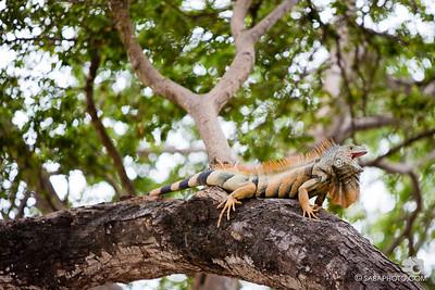 the iguana in sayulita