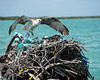 Osprey nest-02525