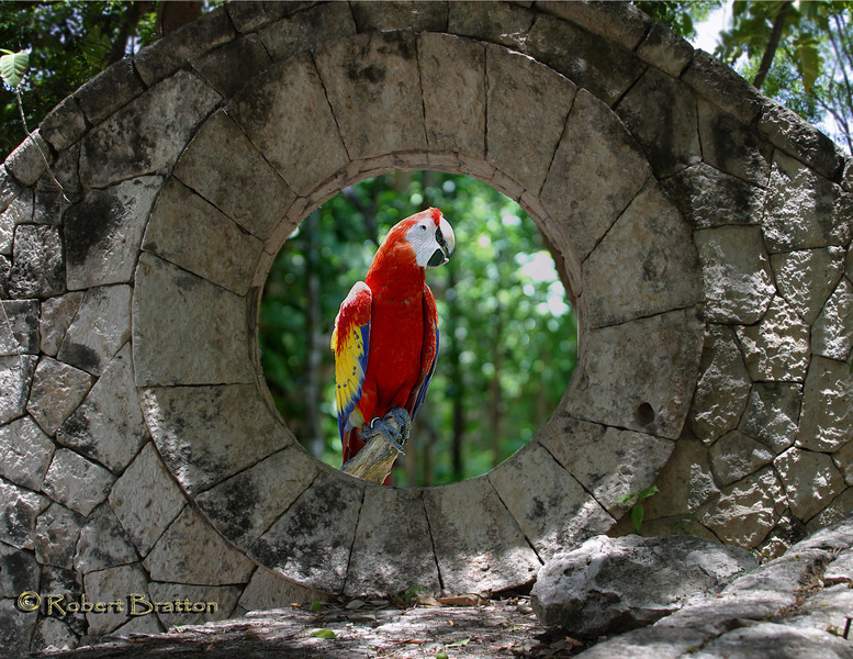 Scarlet Macaw through Hole in the Stone Wall