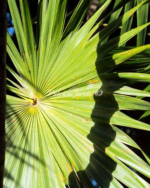 Sian Ka'an palm-02496
