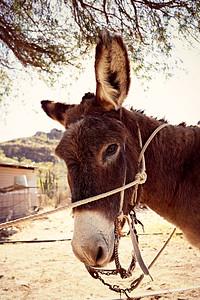 Mule, Loreto