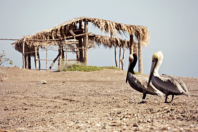 Brown Pelicans, Loreto