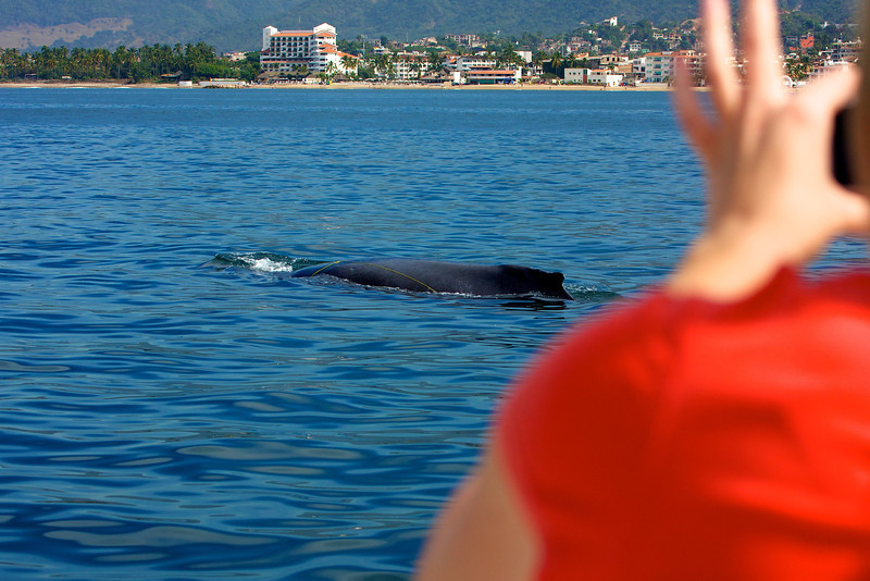 Humpback in Banderas Bay is snagged on a line<br /> Copyright 2009, Tom Farmer