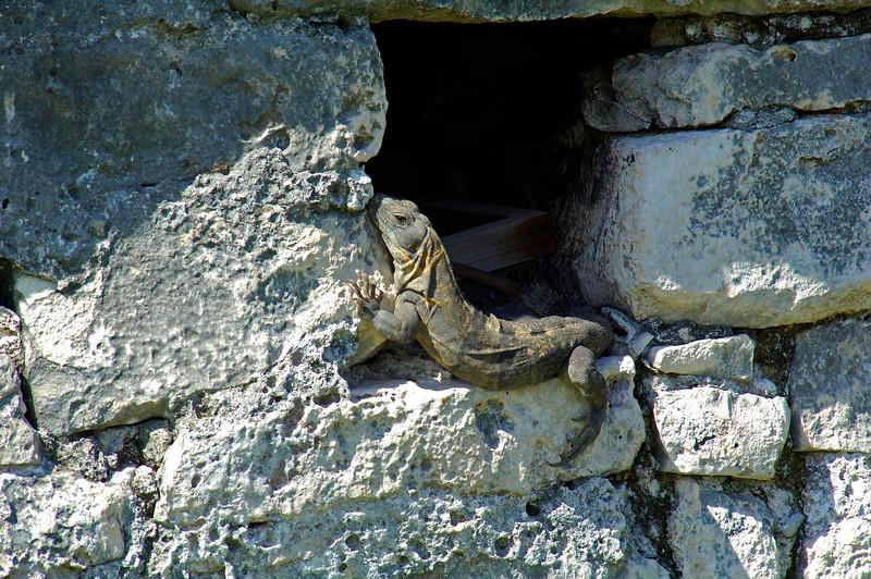 IguanaTulumMexico-04