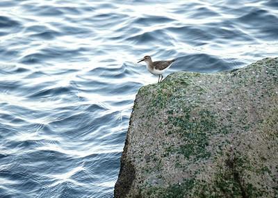 Spotted Sandpiper, Loreto