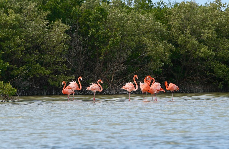 Flamingos on edge of mangroves