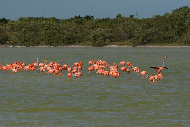 Flamingos in La Laguna