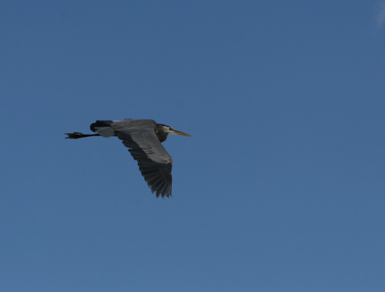 Great blue Heron neck contracted