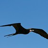 Adult male Frigate Bird