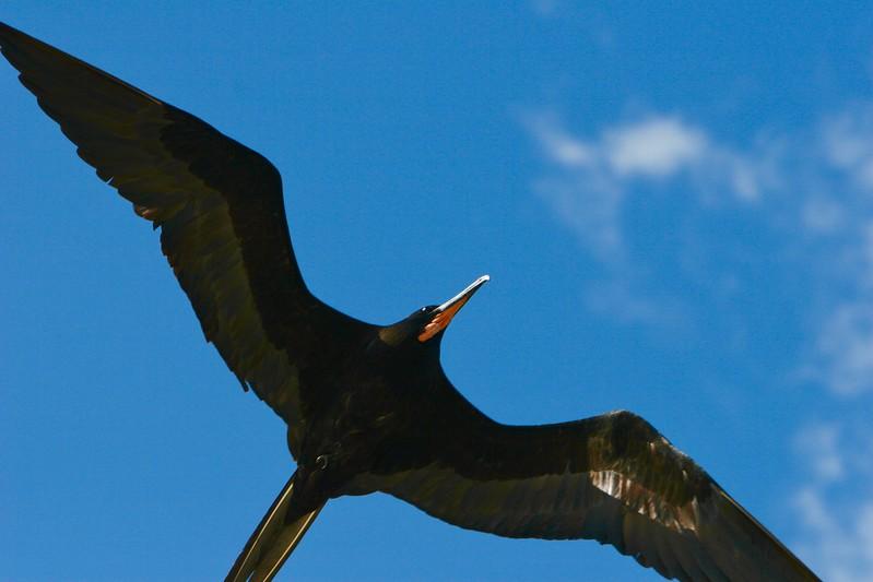 Adult Male Frigate Bird