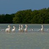 White Pelicans and Royal Terns