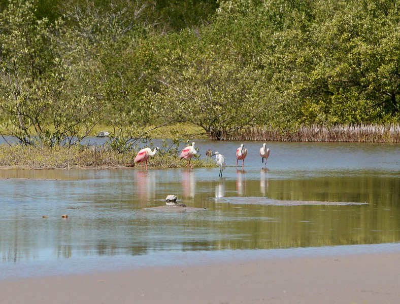 Spoonbills, Egret and Tricolored Heron.