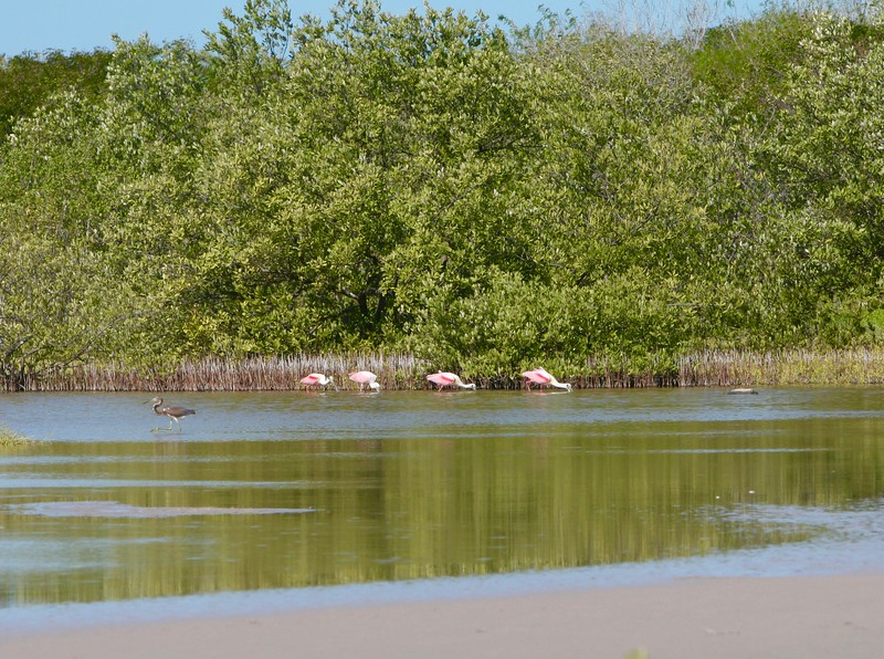 Roseate Spoonbills feeding is the shallows as a Tricolored heron crosses .