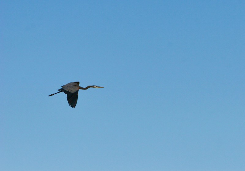 Great Blue Heron begins to retrack neck