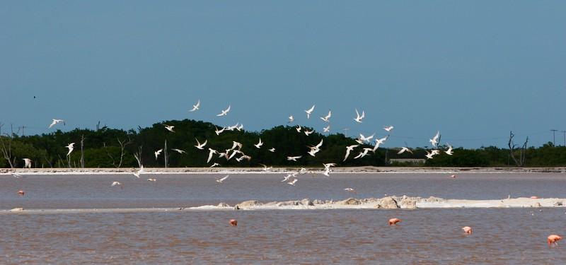 Royal Terns over salt pans