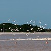 Royal Terns over salt pans