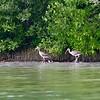 White Ibis -juv