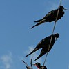 Adult Male Frigate Birds