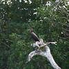 Neo Tropic Cormorant - juv