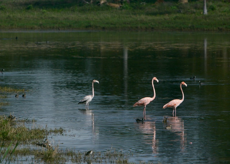 Sub adult flamingos and juvenile