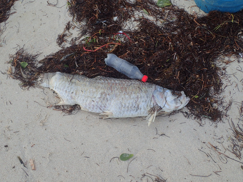 This small tarpon got hit by a shark and didn't make it.