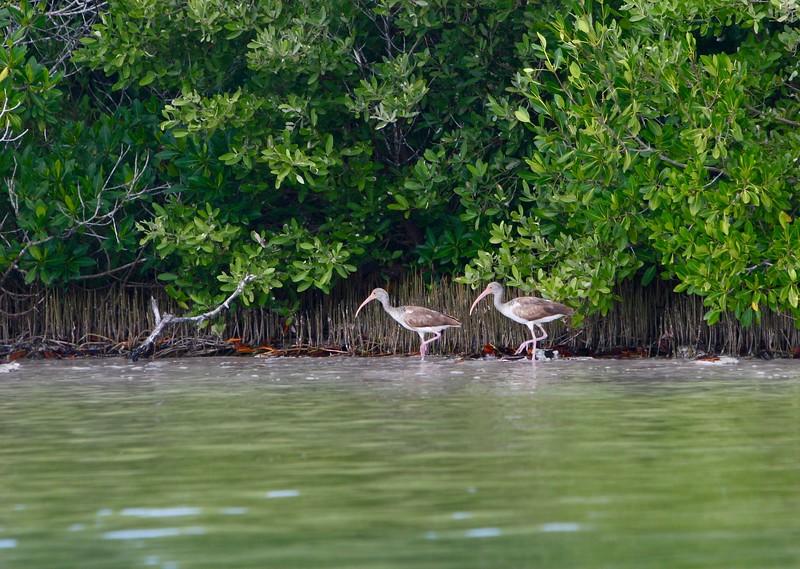 White Ibis - juv