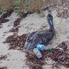 This pelican was dying on the beach.  Cause unknown.