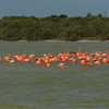 Flamingos in brackish water of Rio Lagartos estuary near El Cuyo