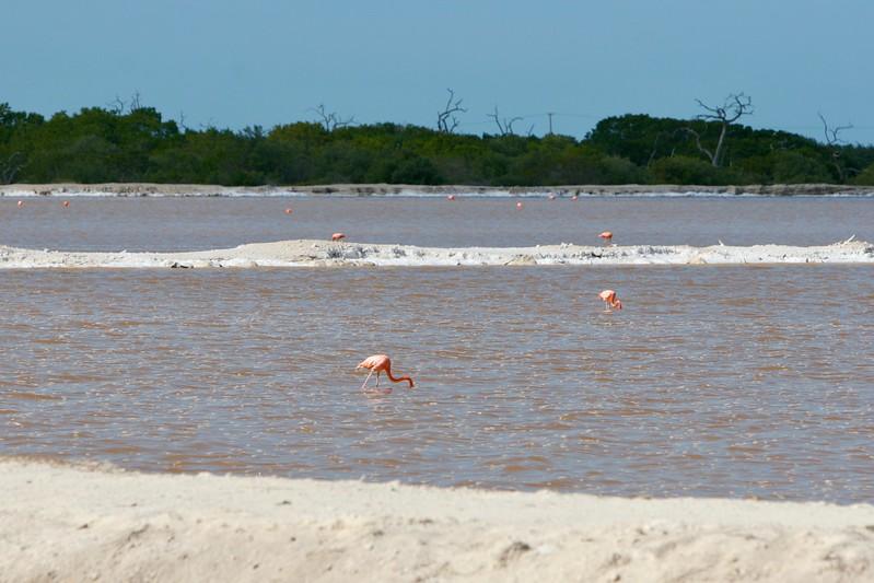 Flamingos feeding in salt ponds