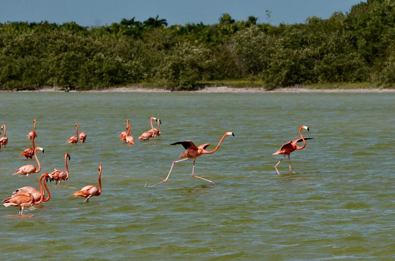 Flamingo walk on water