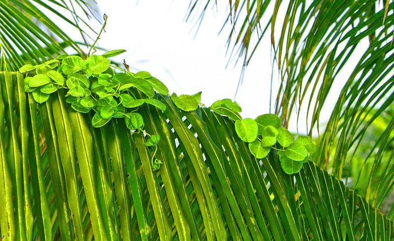 Palm Parasite