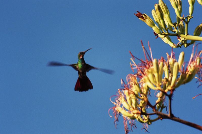 Bluegreen Humingbird, yucatan mexico