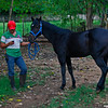 I visited with a friend in Yucatan that raises horses for match races held through the year. This is 18 month old colt that shows promise