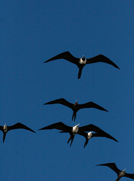 Frigate Birds cant take off from the water but can soar for hours.