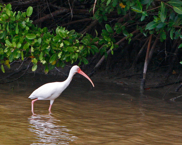 White Ibis and mangroves