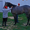 The horses are trained and worked everyday to keep them in top condition.