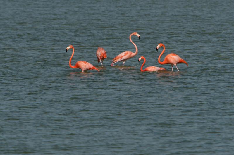 Flamingos, Rio Lagartos bio reserve Yucatan Mexico